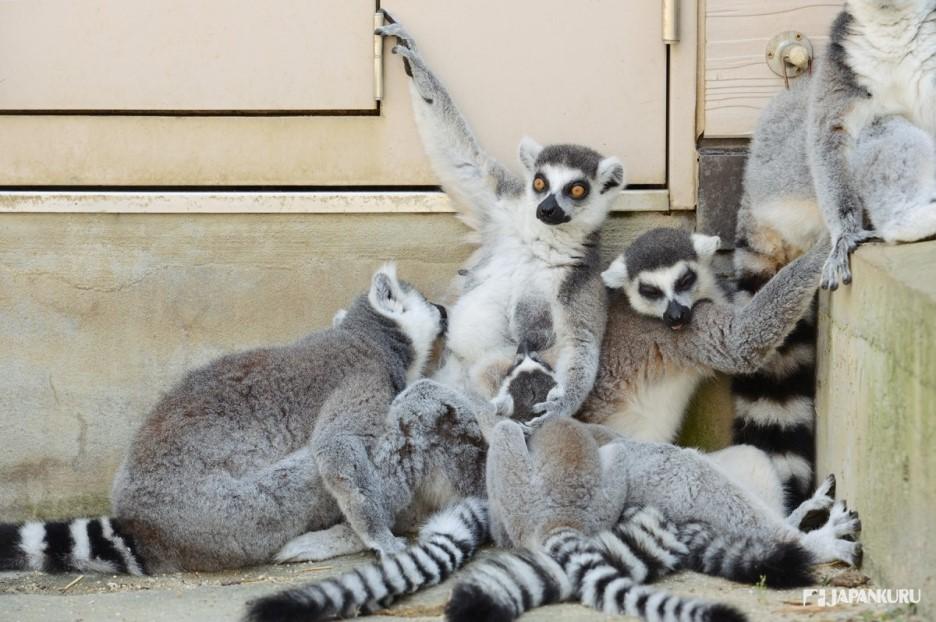 더위에 지친 여우원숭이 가족