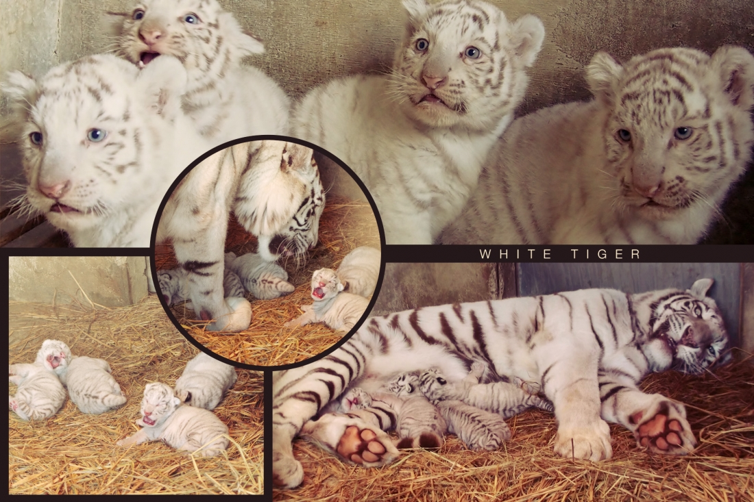 Cute and energetic white tigers' family