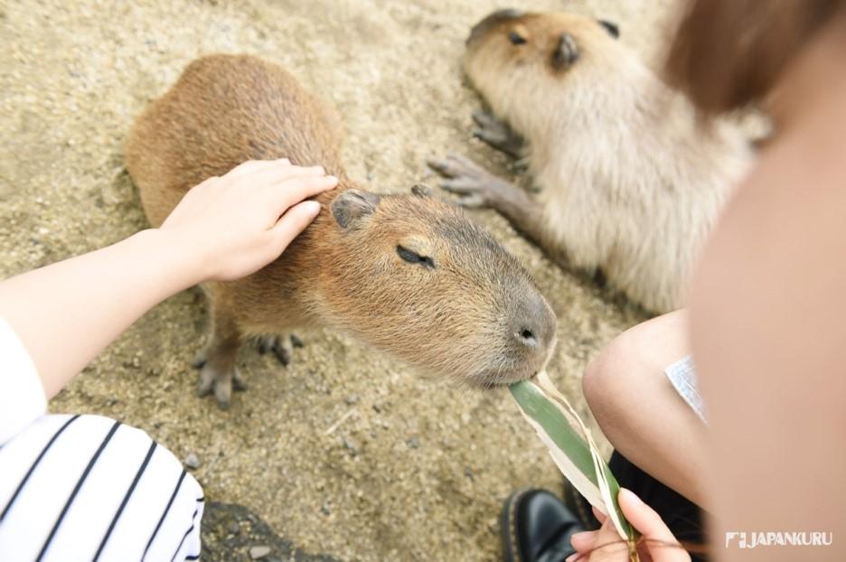 See the Capybara, Pet the Capybara, Friend the Capybara