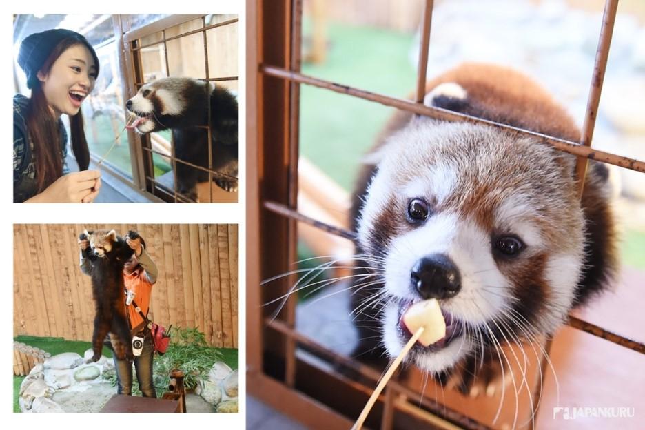 紅熊貓喜歡吃蘋果
