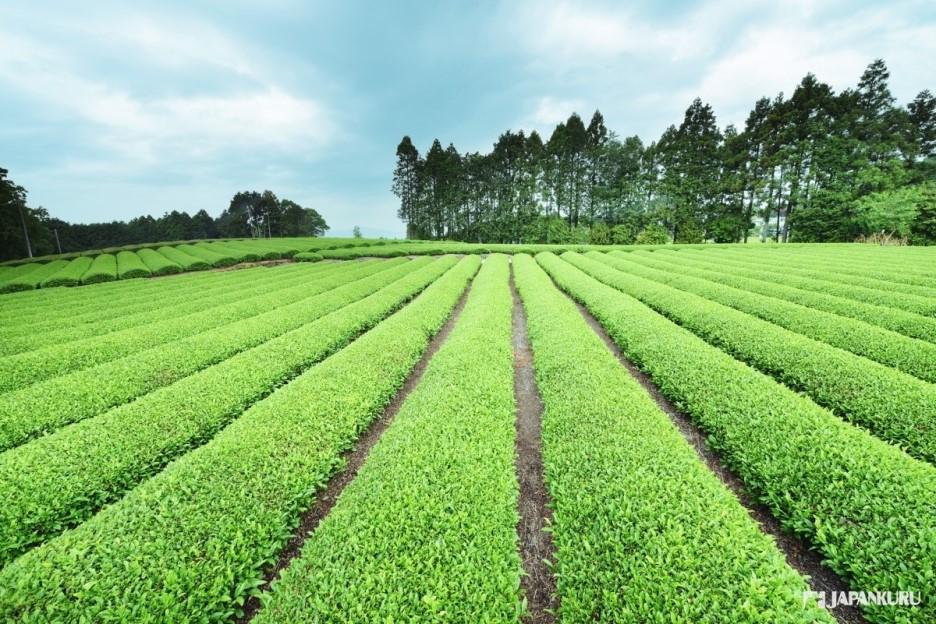 Shizuoka Green tea field.