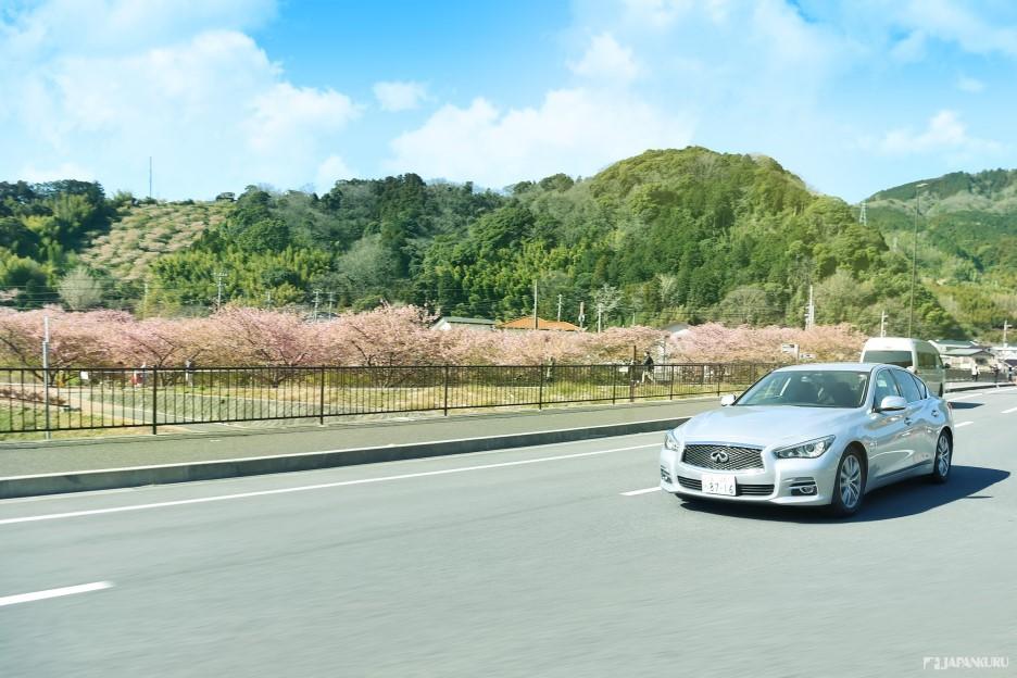 สถานที่แนะนำสำหรับการขับรถไปท่องเที่ยว 1 - ชมดอกซากุระสายพันธุ์คาวาซึ