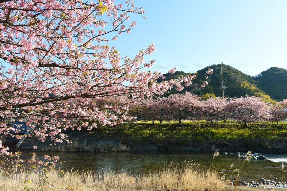Where the famous early blooming cherry blossoms rest
