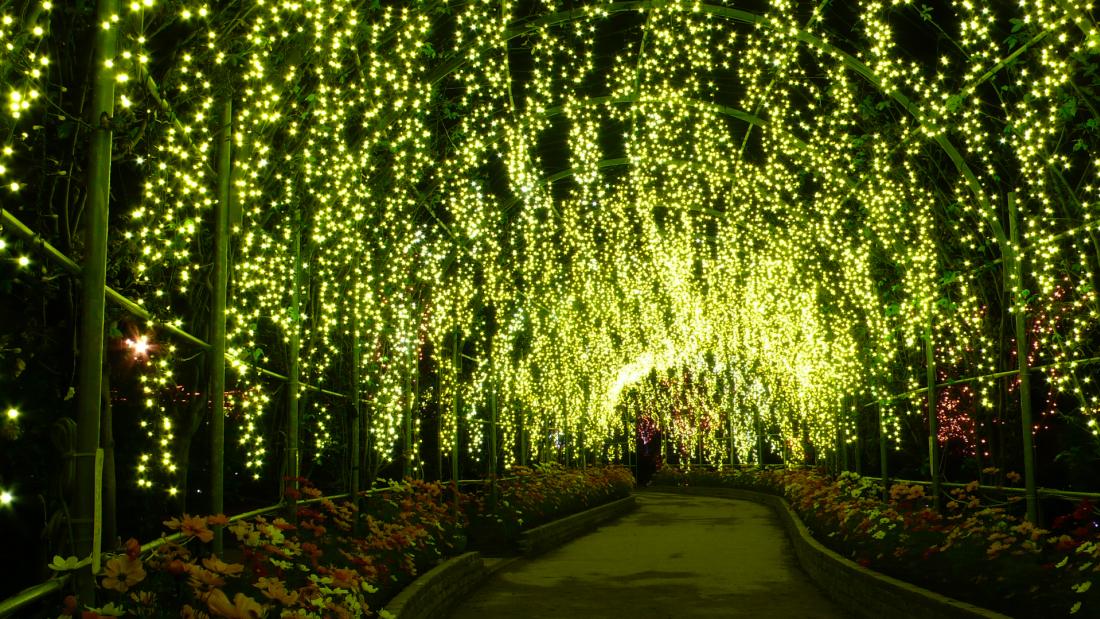 黃花藤(所謂的金鎖)彩燈隧道