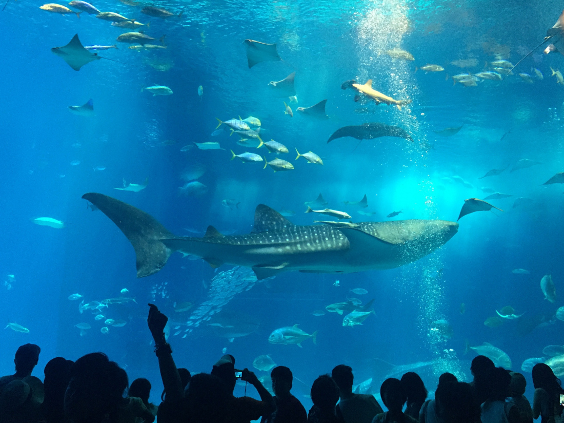 츄라우미 수족관의 최고 인기스타 고래상어