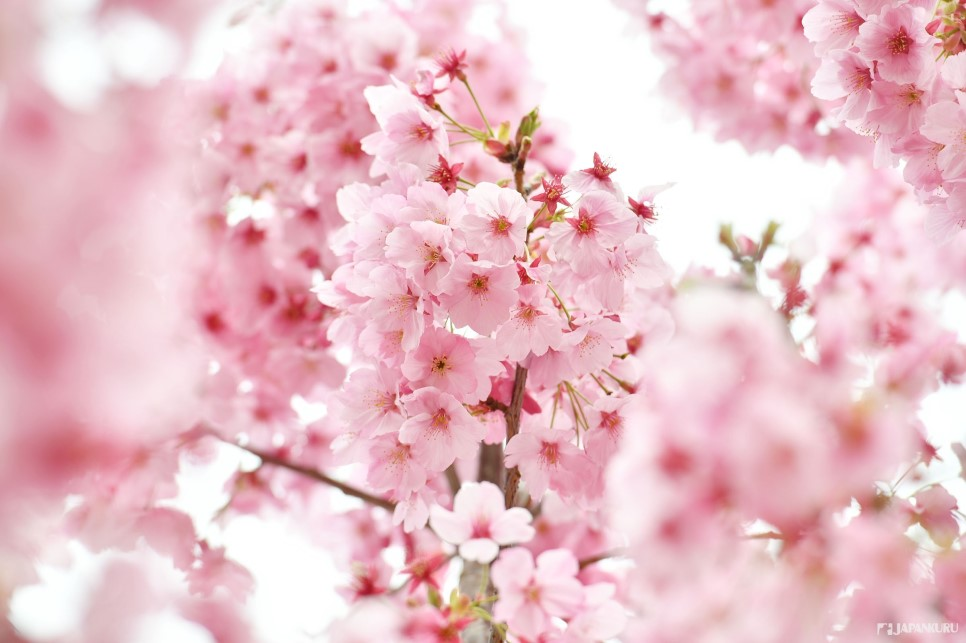 ❶ Sakura (桜)