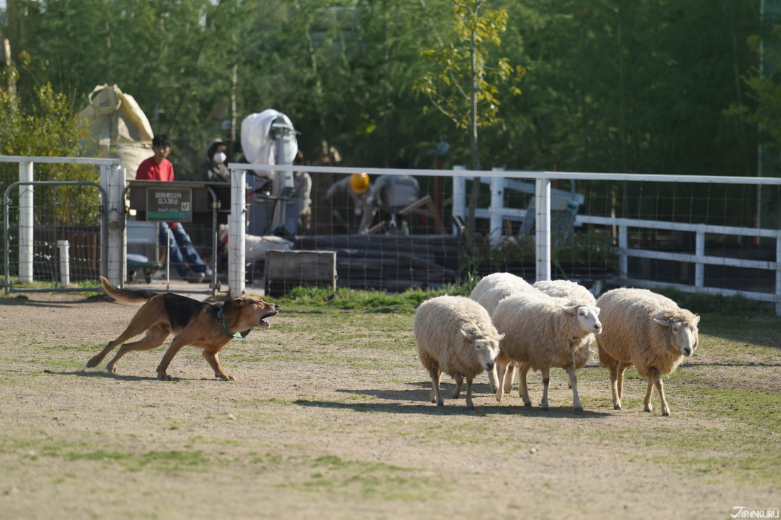 Sheepdog Herding