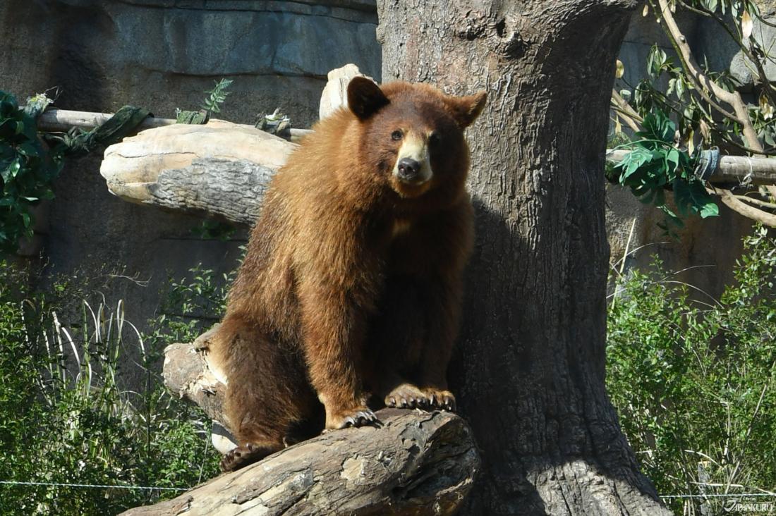 Ours brun d'Amérique