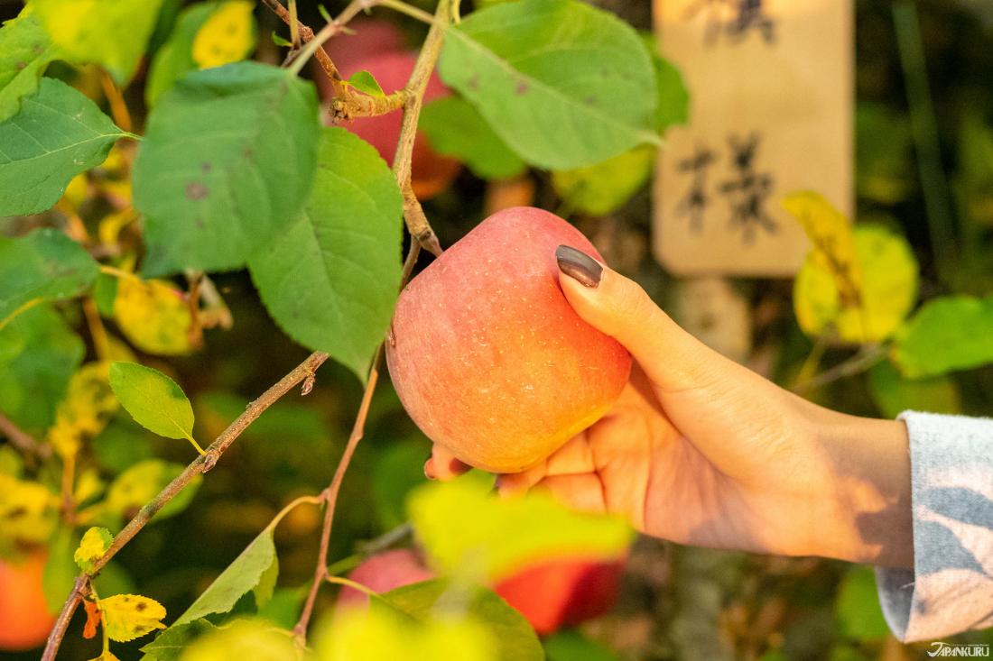 Sử dụng phương pháp canh tác hữu cơ không sử dụng túi, chúng mình đã nhìn thấy được sự thay đổi màu sắc của những trái táo Fuji hồng hào.