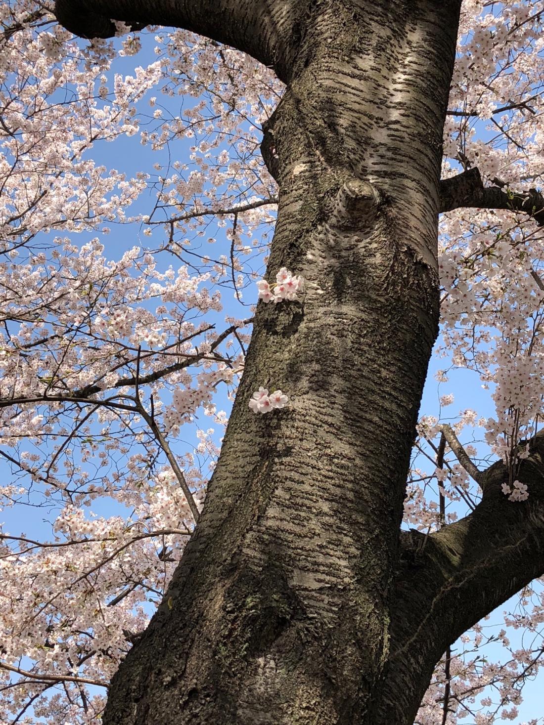 清一色的粉色櫻花