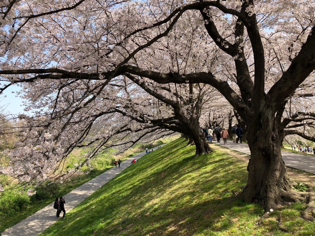青青草地搭配粉色櫻花,這就是春天的代表顏色吧