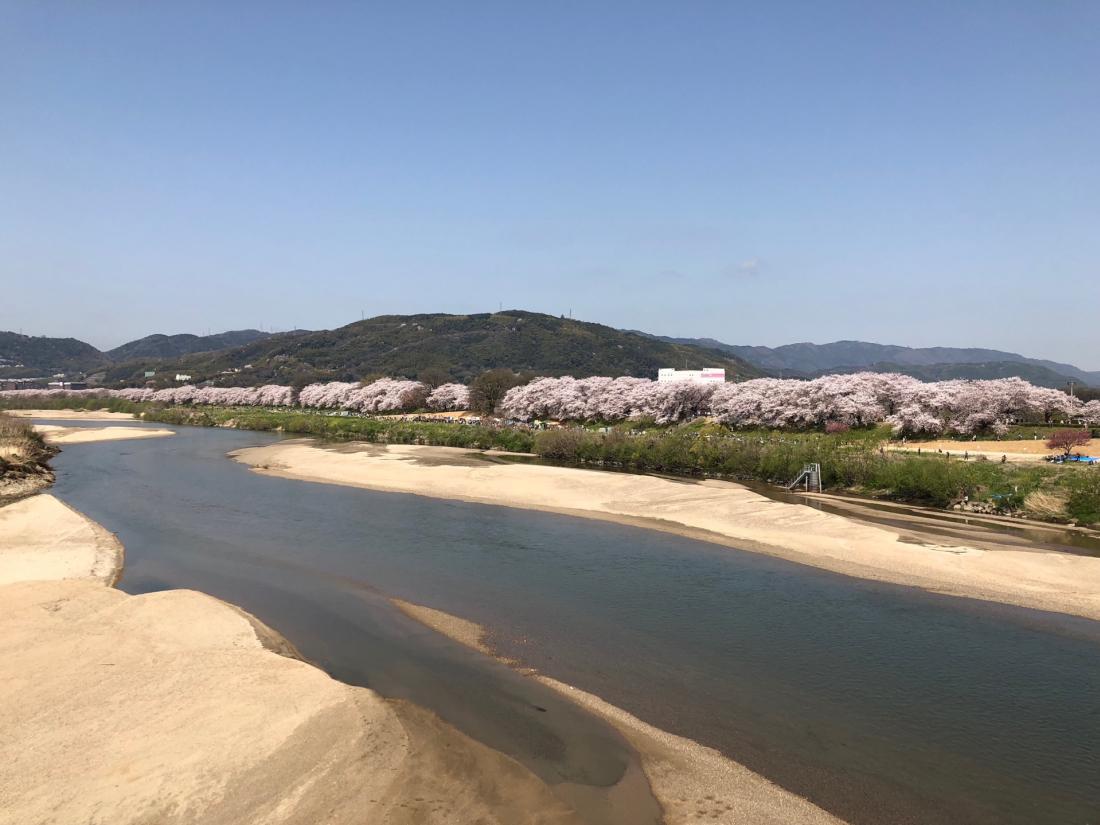 沿著河邊走,遠遠就看到一大片的櫻花樹