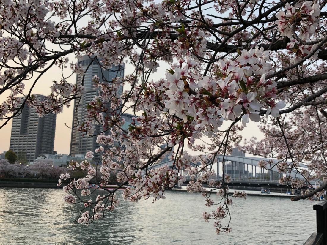 大川河畔的櫻花