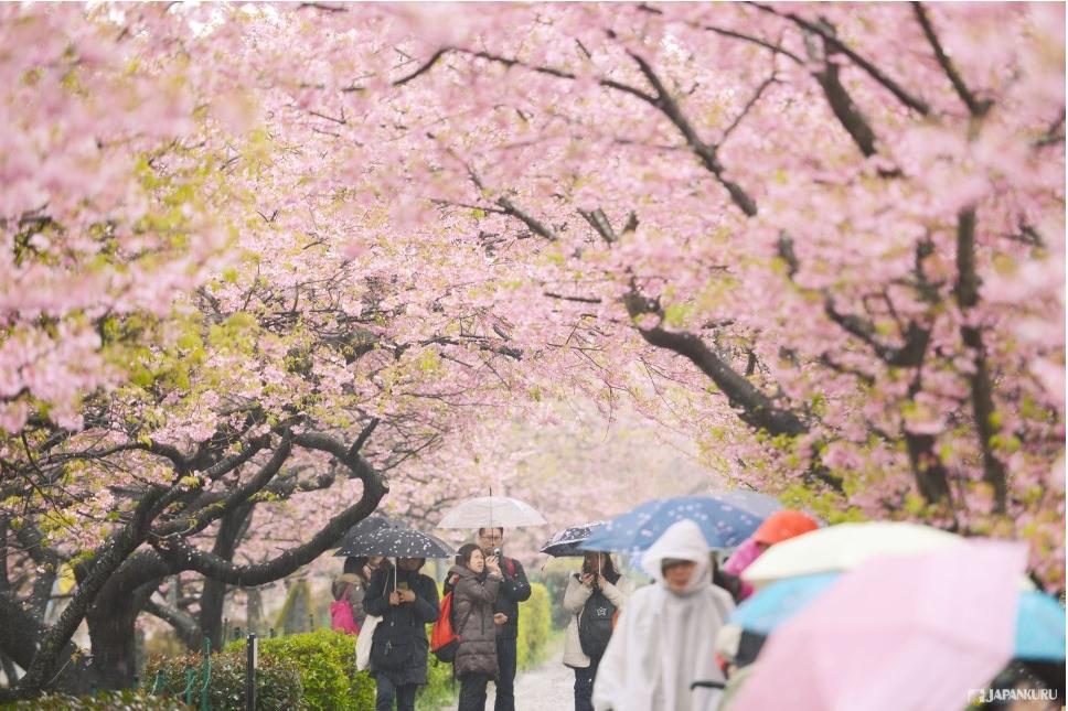 Lễ hội hoa anh đào tại công viên Ueno