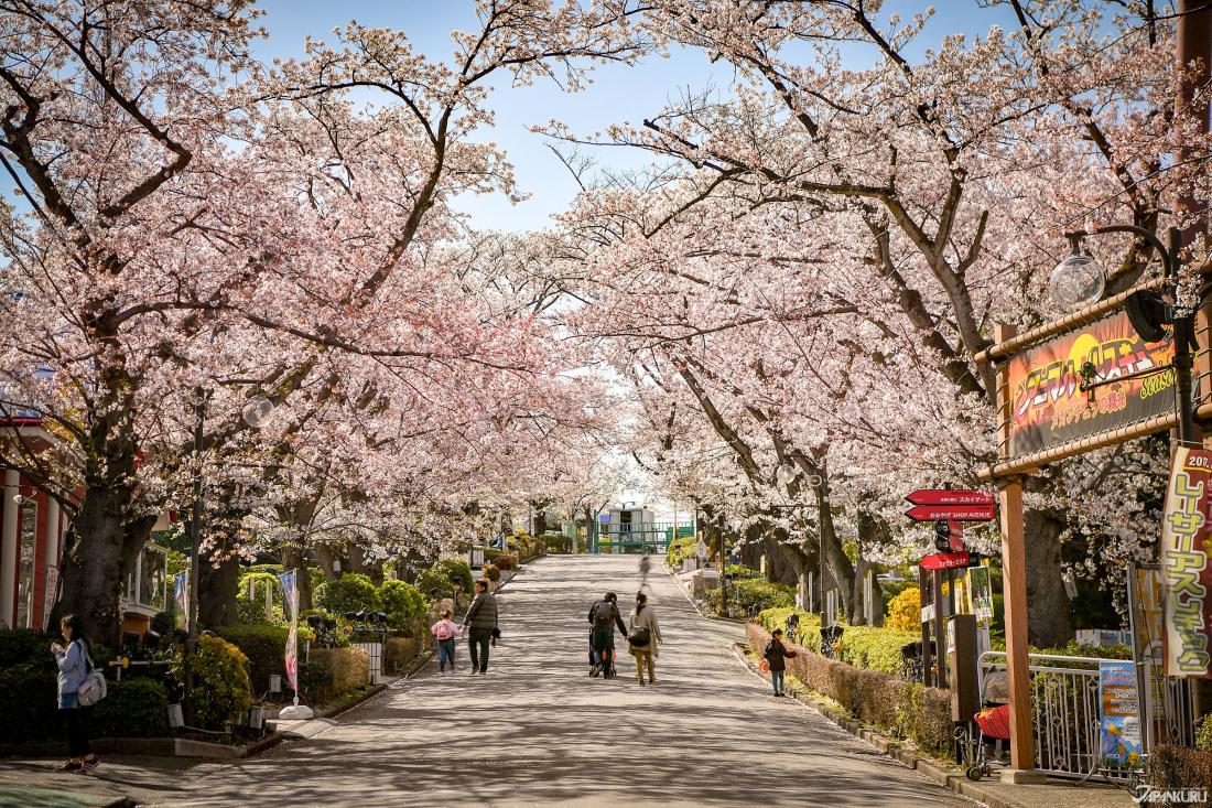 ทางเดินชมซากุระตอนกลางวัน