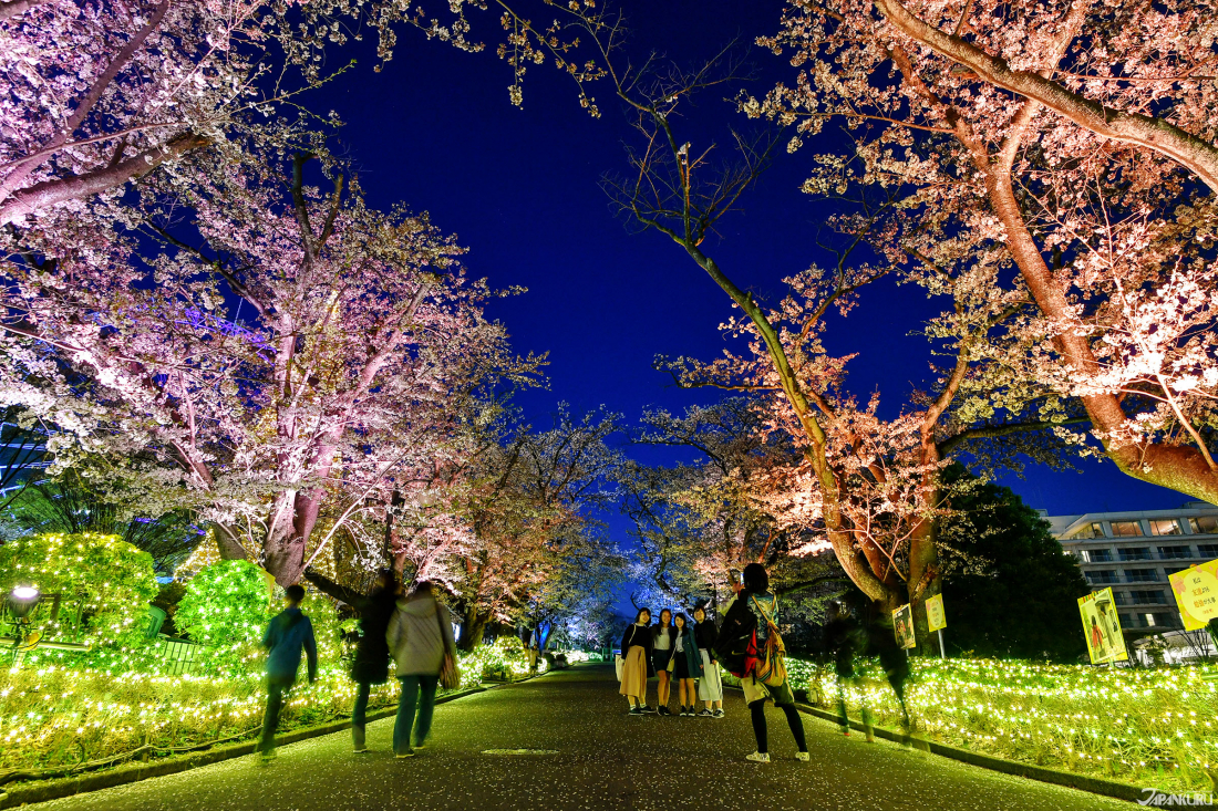 ทางเดินชมซากุระตอนกลางคืน