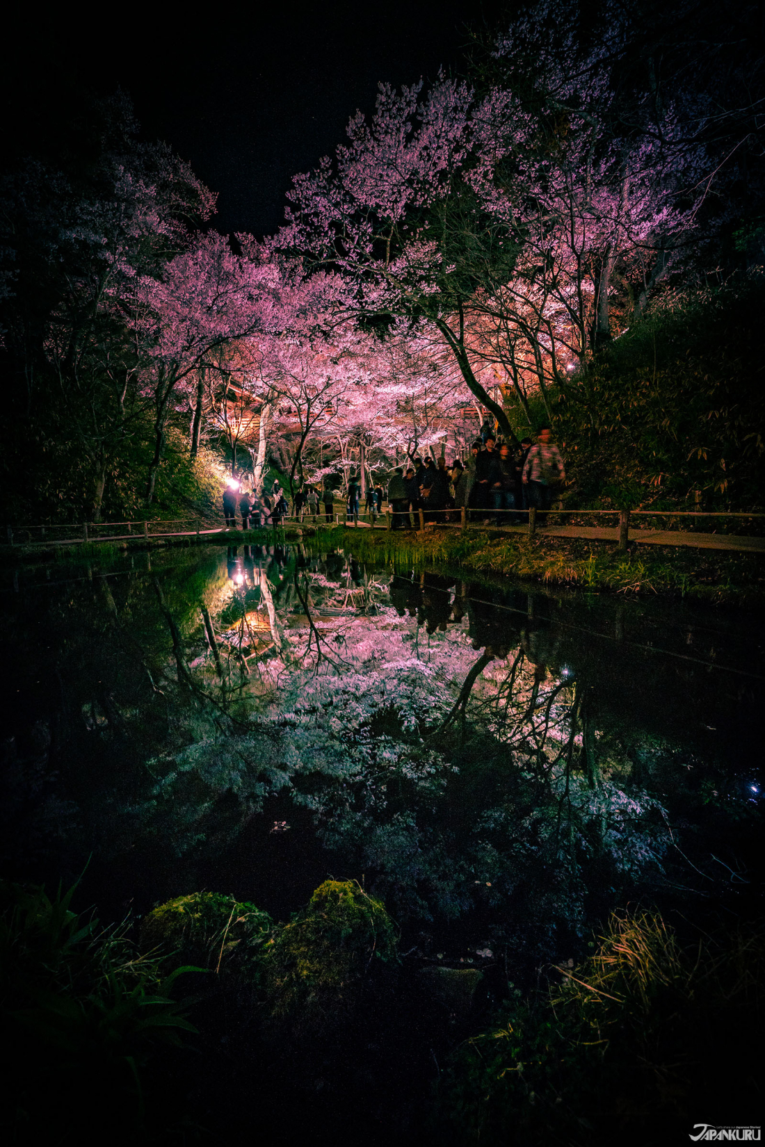 Takato Castle Site Park's Nighttime Cherry Blossoms