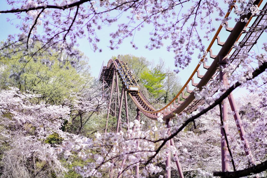 만개한 벚꽃 사이를 달리는 롤러코스터!