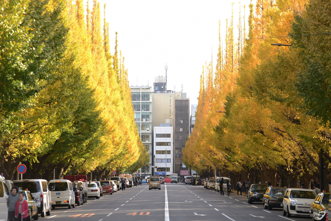 THE JINGU GAIEN GINKGO AVENUE
