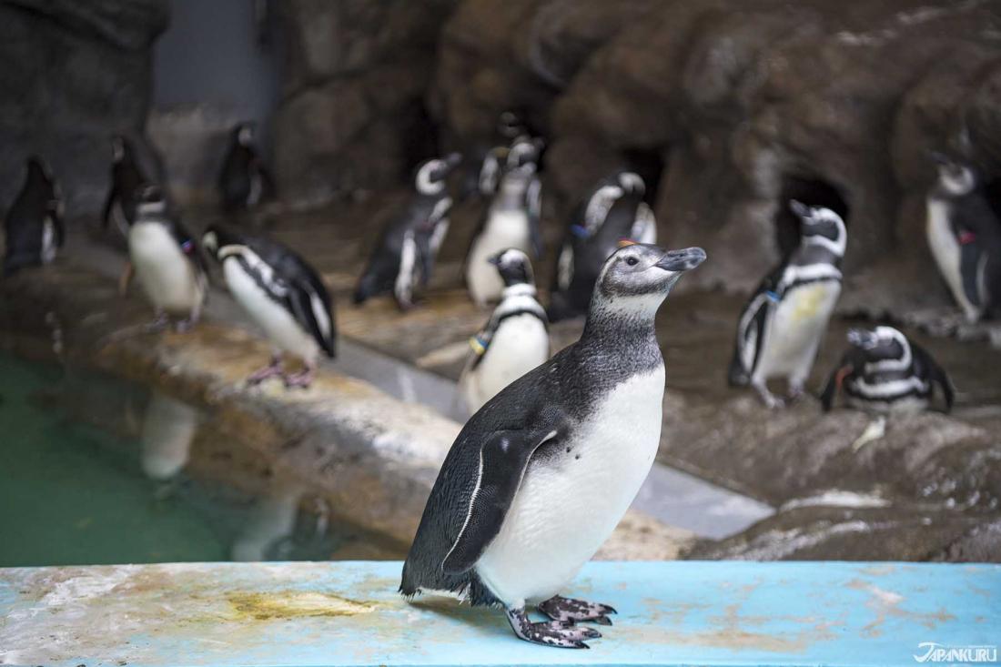 Chim cánh cụt!
