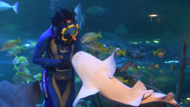 Watch the Mighty Zebra Shark Gobble Its Prey at Shinagawa Aquarium