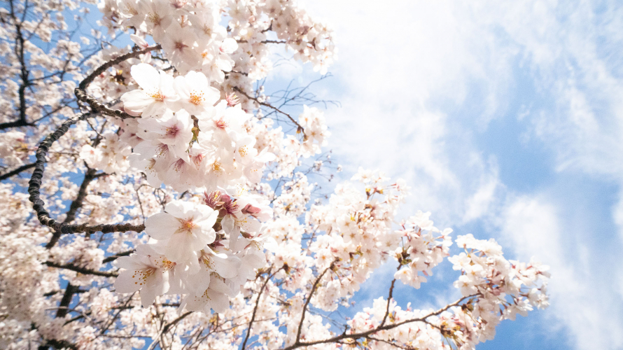 Japanese Cherry Blossom Forecast! Some of the Best Places to See Japanese Cherry Blossoms...