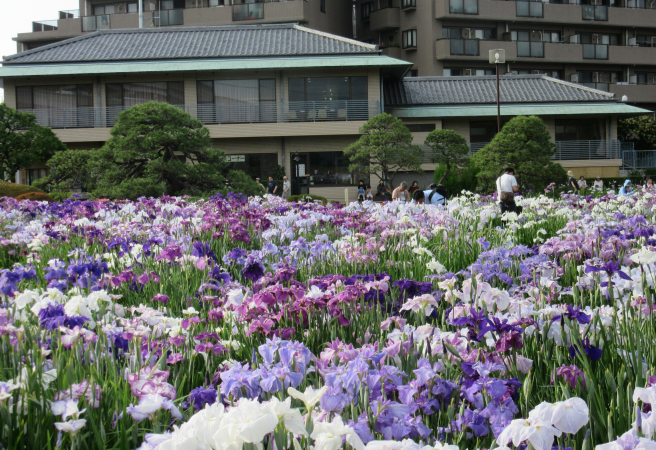 Katsushika Iris Festival (Canceled Due to COVID-19)