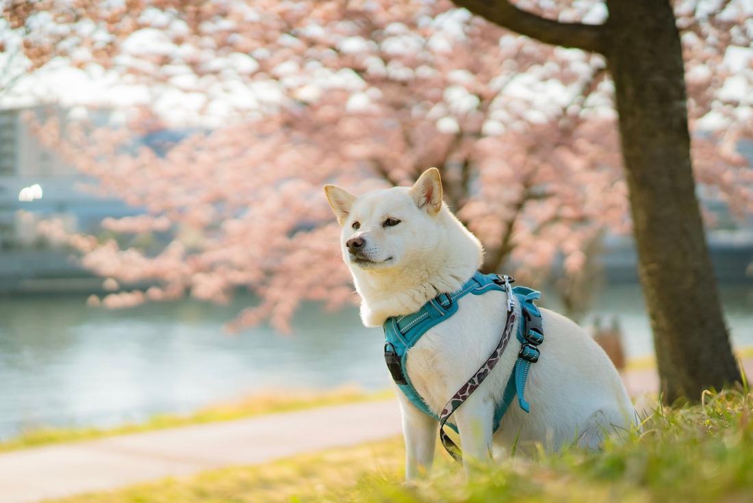 작년 3월 벚꽃배경으로 한장