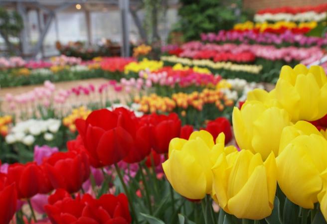 เทศกาลดอกทิวลิป 2021 Flower Center (เฮียวโกะ)