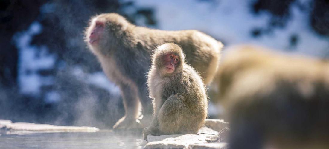 地獄谷野猿公苑:猴子泡溫泉  長野旅遊志賀高原行必訪景點