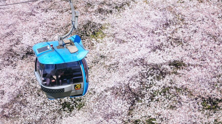 Hoa anh đào ở Tokyo 🌸 Ngắm hoa anh đào tại công viên bảo tàng lớn nhất của Tokyo...