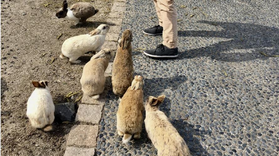 毒氣島變身兔子樂園?萌兔兔遍地的兔子島大久野島
