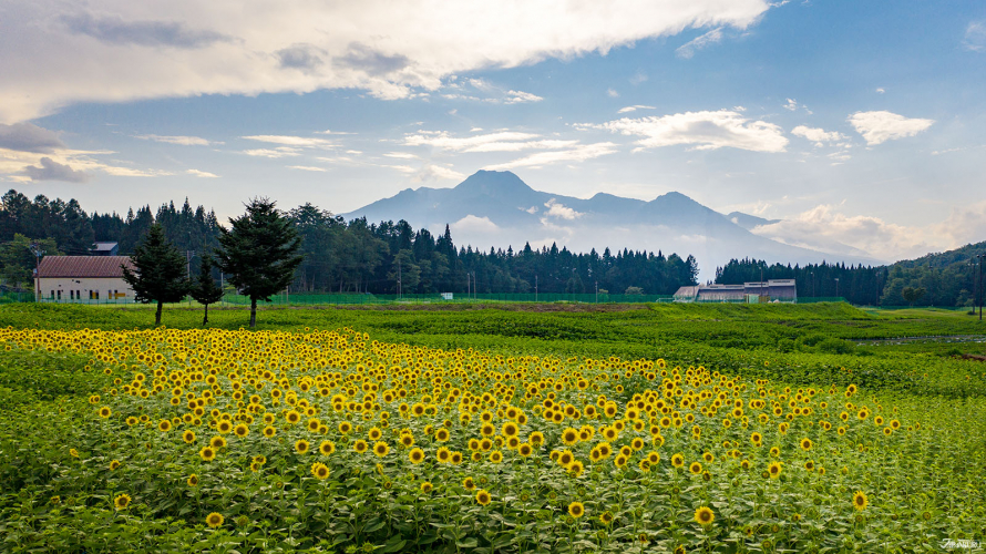 La beauté des champs de tournesol à l'hôtel Joetsu Myoko APA Resort