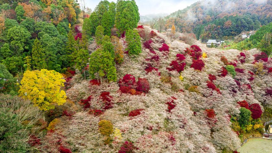 日本中部秋季旅遊景點:誰說豐田只有汽車!紅葉名所香嵐溪與四季櫻