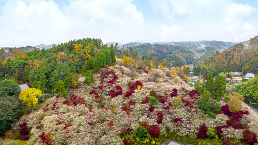 The Beautiful Gradation of The Autumn Leaves and Cherry Blossoms in Toyota, Aichi...