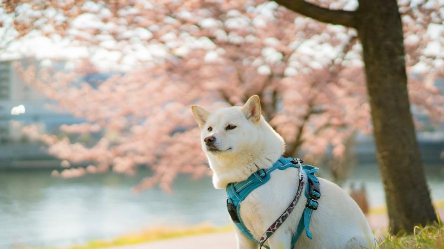 """เรื่องราวของ """"คุรุคิ"""" สุนัขพันธุ์ชิบะ มาสคอตของเจแปนคุรุ (Japankuru)"""