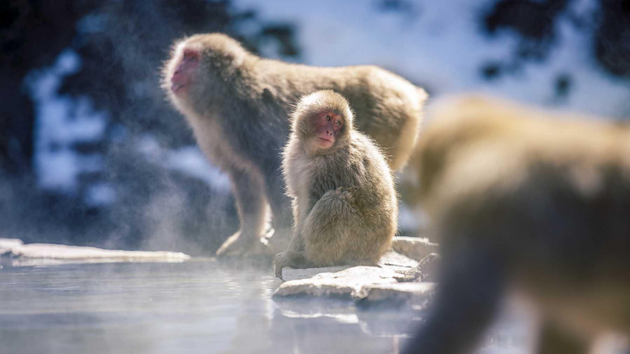 The Snow Monkeys of Jigokudani Monkey Park in Nagano