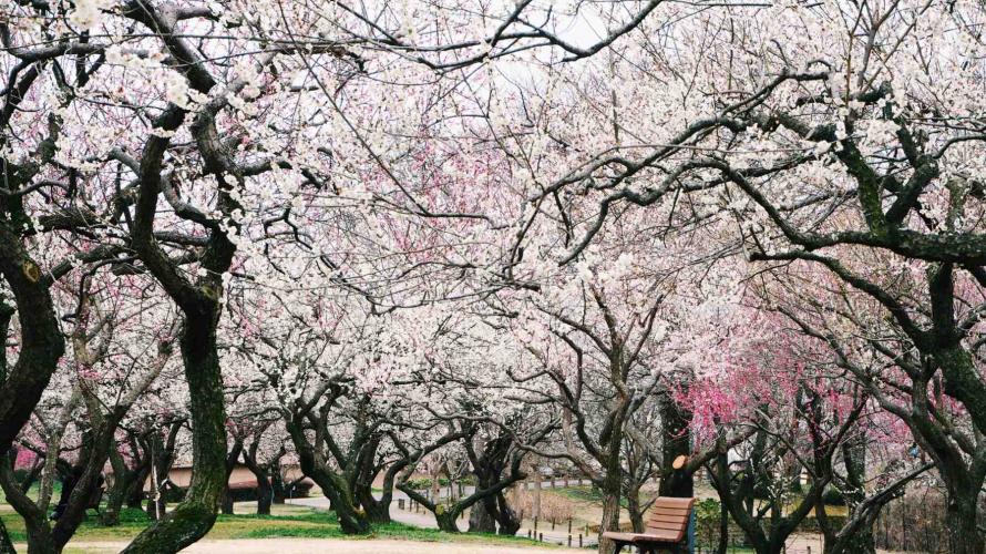 Ibaraki's Kairakuen Garden ・ An Early-Spring Wonderland of Plum Blossoms and Festival Fun