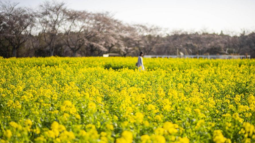 ชมดอกซากุระ ดอกคาโนล่า และฟังเสียงแกะร้อง ที่ Narita Dream Farm
