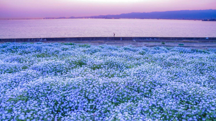 Osaka's Most Famous Nemophila Spot ・ Baby Blue Eyes in Osaka Maishima Seaside Park