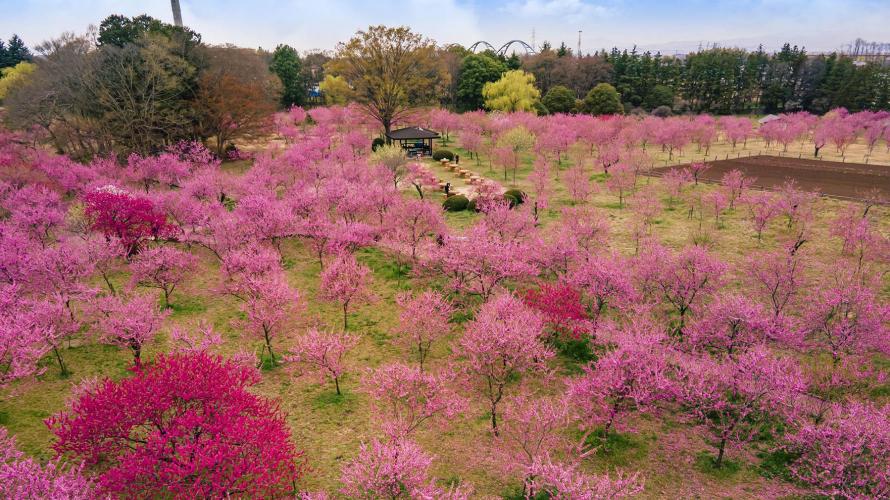 ชมดอกท้อ (โมโมะโนะฮานะ) ที่สวนโคกะคุโบ