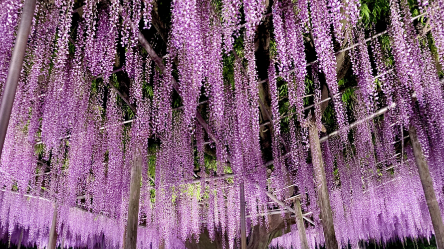 The Wisteria Festival at Ashikaga Flower Park ・ A Perfect Springtime Day Trip from Tokyo