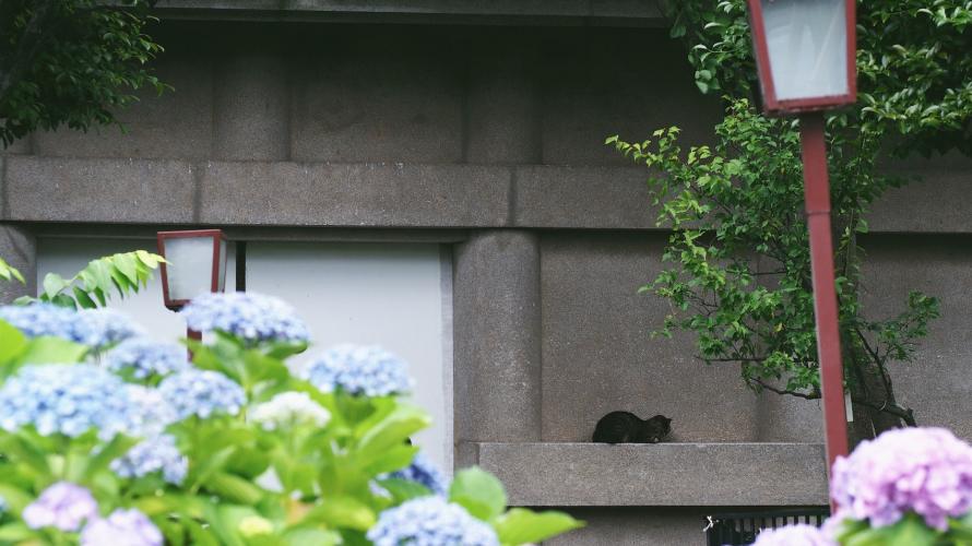 ศาลเจ้าฮะคุซัน - ดอกไฮเดรนเยีย ฤดูฝน และแมว