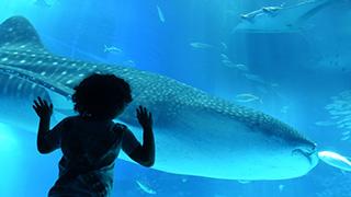 在沖繩和鯨鯊一起浮潛