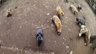 宮城縣觀光推薦★世界唯一宮城藏王狐貍村的治癒之旅