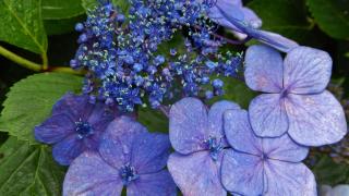 Hydrangea Festival 🌼A Beautiful Tokyo Summer Festival