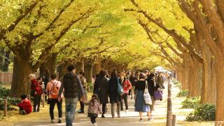 Tokyo Fall Festival - Golden Leaves at Meiji Jingu Gaien Ginkgo Festival 2018