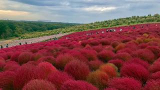 히타치 해변공원을 붉은색으로 물들인 코키아!