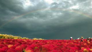 夏秋季限定絕景!茨城國營日立海濱公園掃帚草季