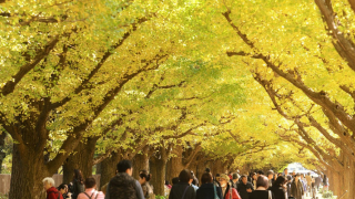 金黃的東京  都內銀杏名所5選